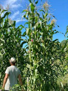 Farmer Jay Robinson from Sweet Land Farm standing among cornstalks