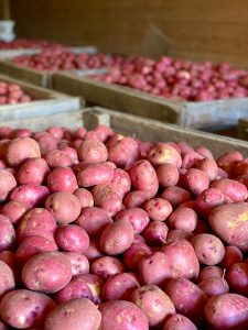 Boxes of red potatoes from Thomas Vegetable Farm